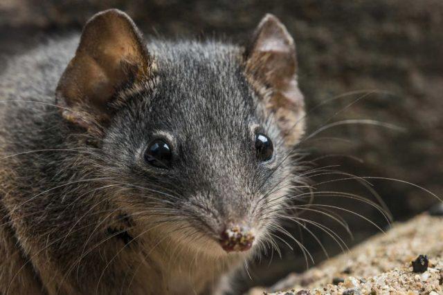 Мышей секс
