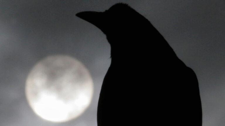Ученые: вороны обладают первичным сознанием