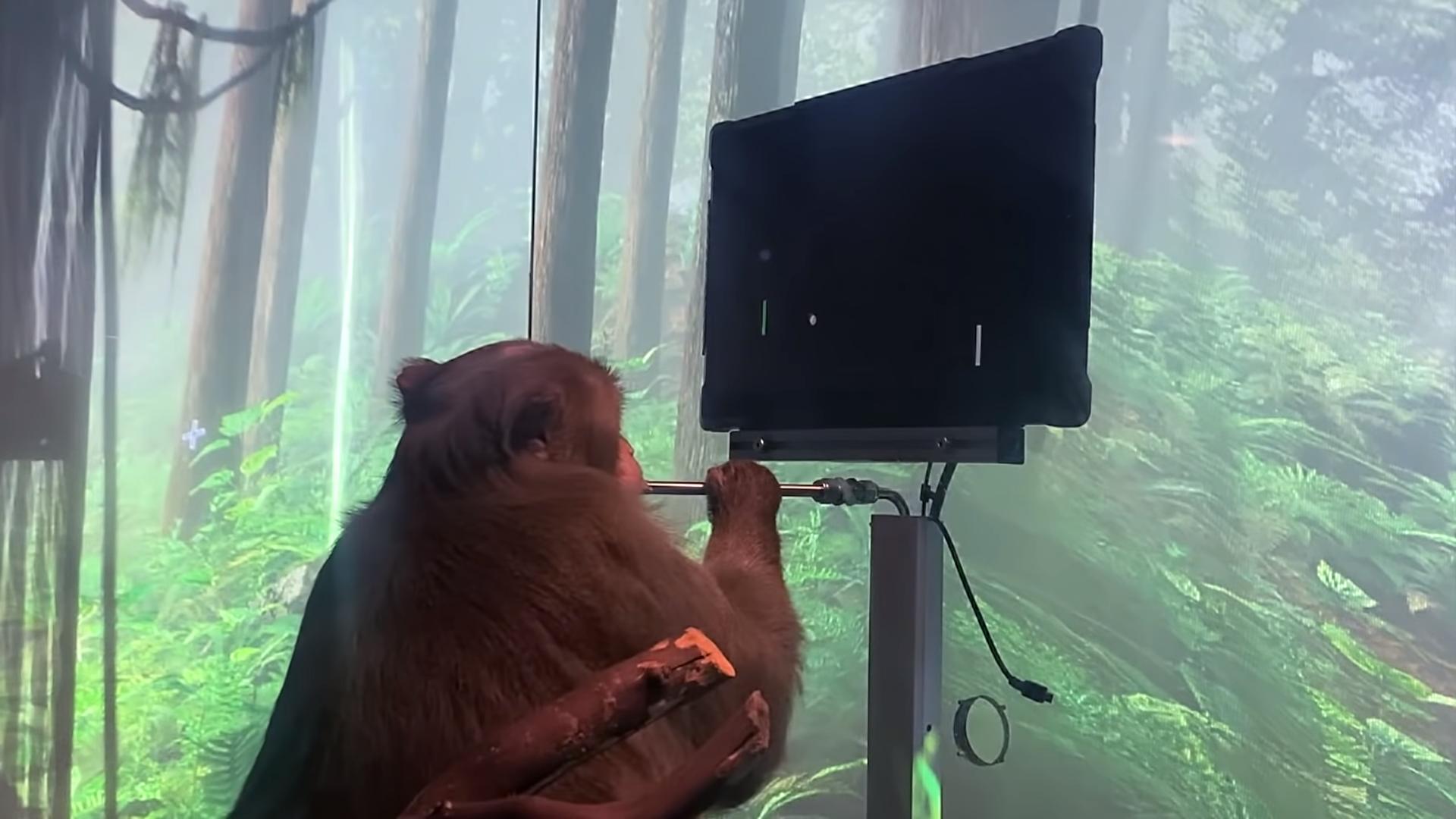 Видео дня: стартап Илона Маска показал обезьяну, играющую в виртуальный пинг-понг «силой мысли»