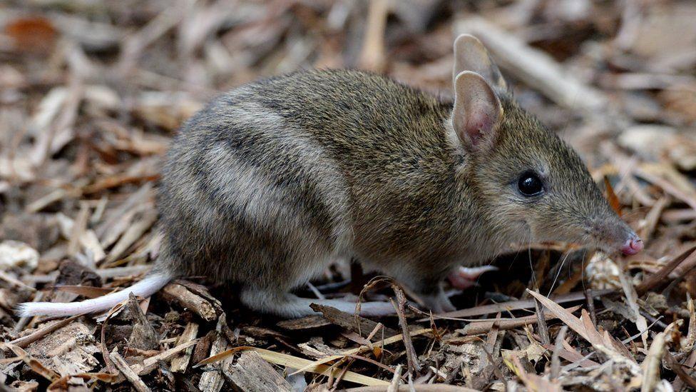 В Австралии бандикуты больше не считаются вымершими. Их количество в дикой природе выросло до 1500