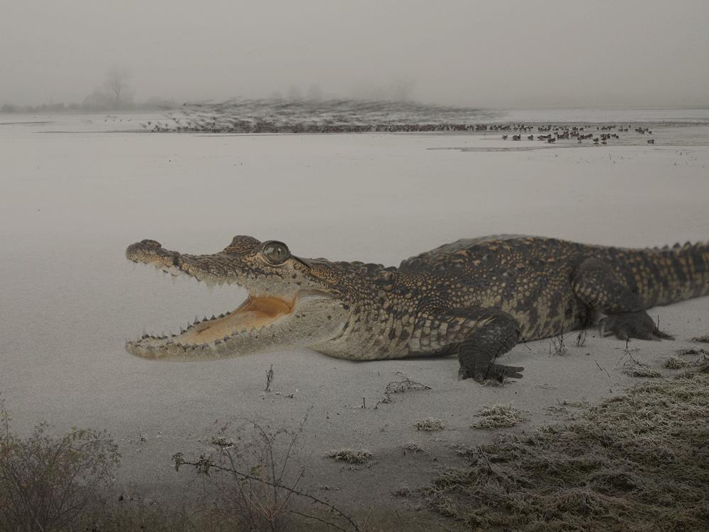Morticia_morelets-crocodile-copy