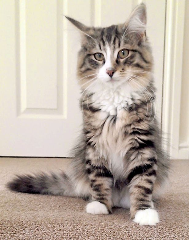 PAY-Clive-the-Norwegian-Forest-cat